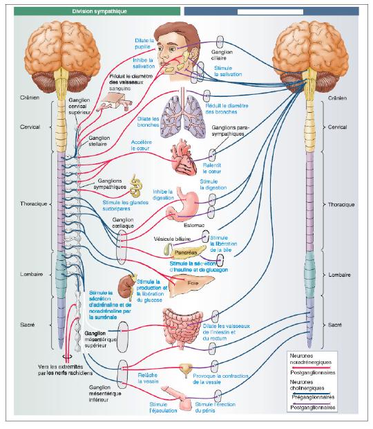 l'action des émotions sur le corps